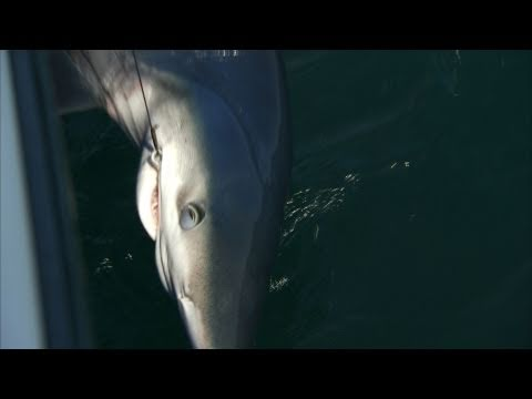 Addictive Fishing: Rockin' The Block, Part 2 - BLUE SHARKS in Rhode Island
