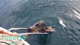 Injured Sea Lion Pup Jumps Onto Boat in California