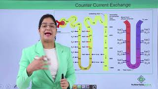 Excretory system - Counter current mechanism