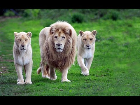 Львы хулиганы (Документальные фильмы National Geographic HD)