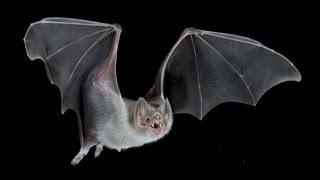 Động vật có vú duy nhất bay được là dơi