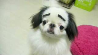 回るまゆげ犬(狆 japanese chin)