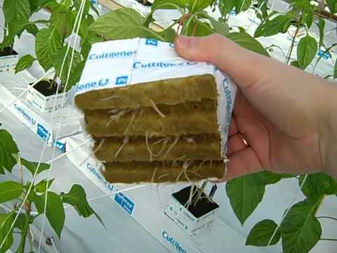 How To Plant Pepper Plants  Hydroponic Greenhouse