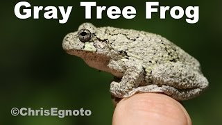 Gray tree frogs - Hundreds of them singing into the night!