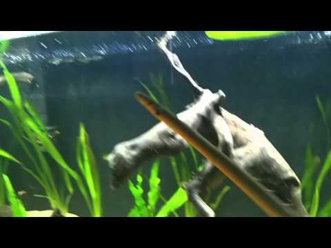 Ropefish videolike for African rope fish