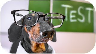 Final examination! Cute & funny dachshund dog video!