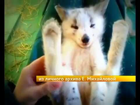 Добрые новости: Приручили лису