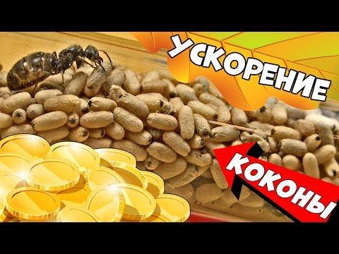 Закись азота для муравьиной фермы или подброс коконов для ускорения роста колонии