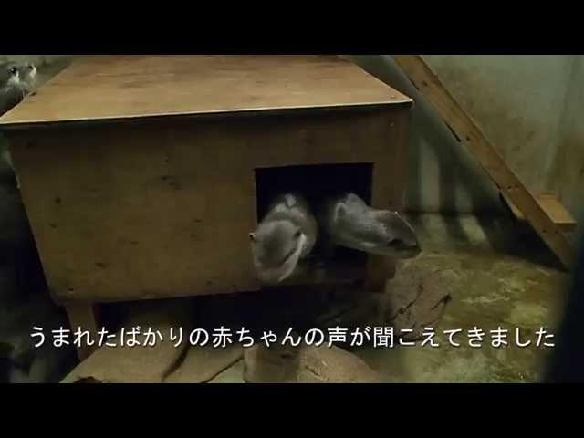 コツメカワウソの出産(福岡市動物園) Was otter baby birth