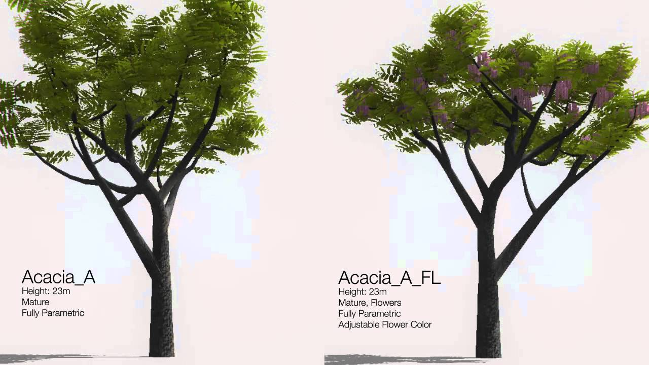 Acacia Tree Presentation Youtube