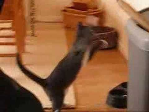 Tiesto The Boxing Cat- Very Funny!!
