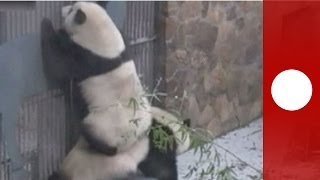Panda playground: giant bear cubs play around in Chengdu, China