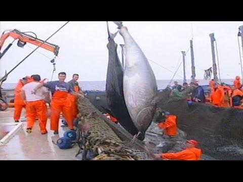 Levantá de atún rojo en almadraba de Cádiz (2008)