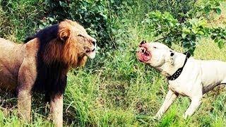 Собака напала на льва