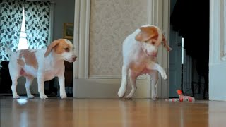 Dog Rescues Sister from Toy Snake Attack! Cute Dogs Maymo & Penny