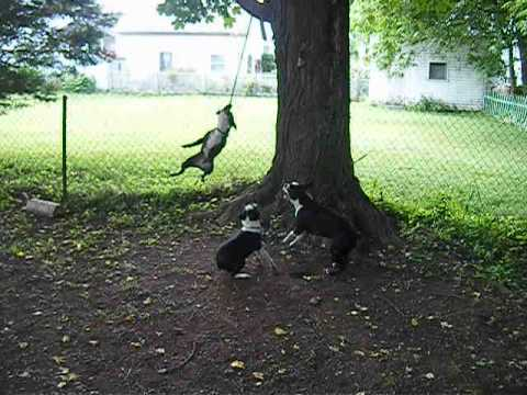 Three Boston Terriers on ONE ROPE!!!!