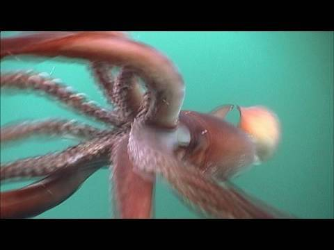 The Fierce Humboldt Squid - KQED QUEST