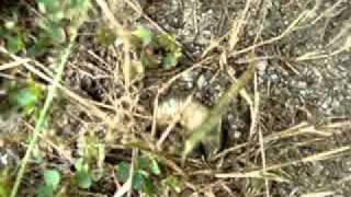 Beetle larva digging its burrow