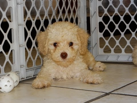 Toy Poodle Puppies For Sale In Charlotte North