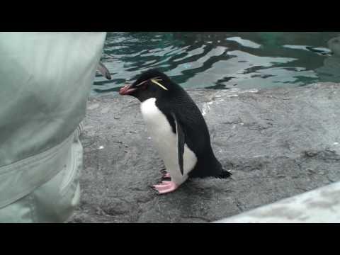 【HD】北海道 旭山動物園 ペンギン もぐもぐタイム penguin Hokkaido Japan