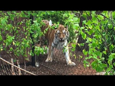 VIDEO: Tiger Passage Opens at Cleveland Metroparks Zoo