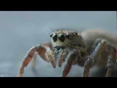 Super Cute Spider-Habronattus Coecatus Jumping Spider