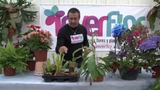 Sarracenias - Plantas Carnívoras