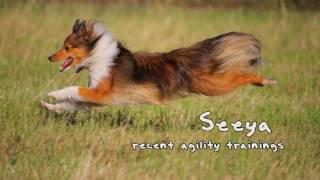 "Sheltie Girl ""Seeya"" at recent agility trainings"