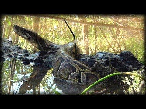 American Alligator Attacks Alligator Attacks Python 07