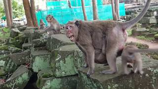 download lagu What A Big Monkey Doing On Female Monkey? Poor gratis