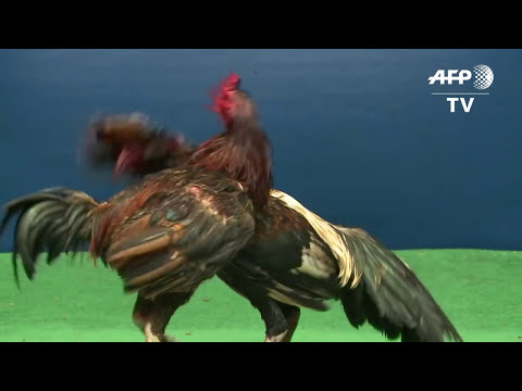 Feathers fly over Thailand's lucrative cockfighting pits