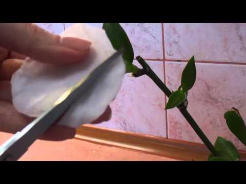 Как наростить корни у детки орхидеи если цветонос желтеет