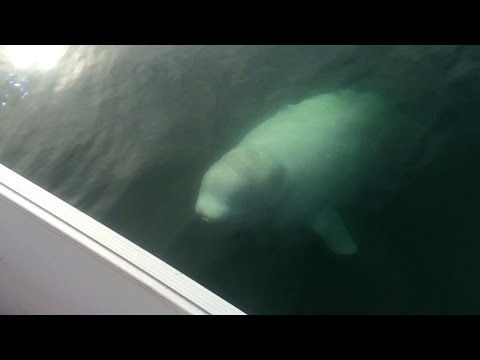 Beluga whale spotted in Halifax Harbour