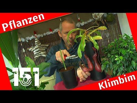 Die Fleischfressenden Pflanzen Kannenpflanze einfach pflegen.