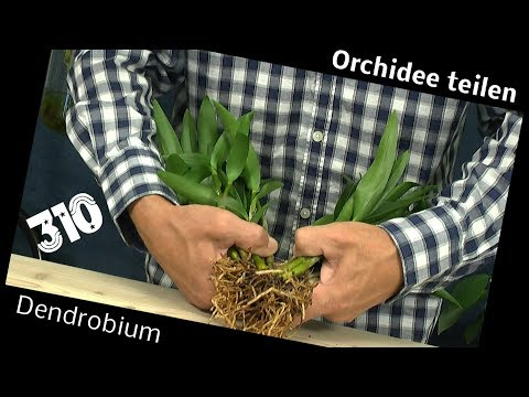 Orchidee teilen Dendrobium Berry Oda retten