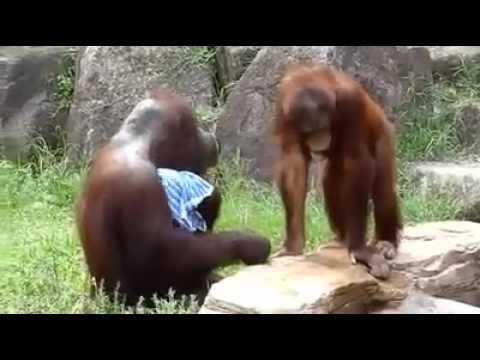 Thumbnail of video Un señor se refresca disfrazado de orangután.