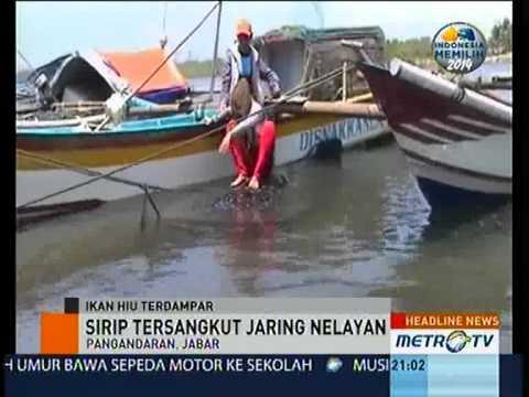 download lagu Hiu Naga Bintang Terdampar Di Pangandara gratis