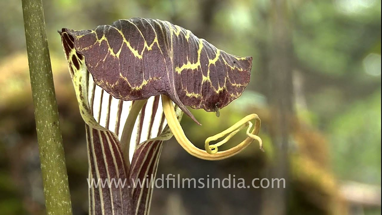 snake plant or cobra lily - can change sex voluntarily