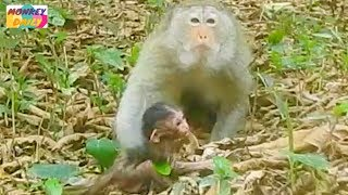 Mission Completely! Now newborn Alex meet his mom again|Mom very very miss her baby|Monkey Daily 799