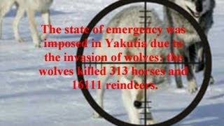 Wolf hunting. Yakutia. Hunting from the helicopter. Evenkia. GoldenAldan.ru