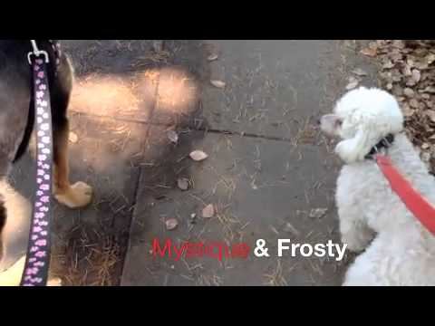 Walking Mystique and Frosty in Huntington