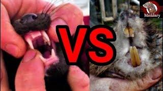 Rocky the Mink Muskrat Knockout!