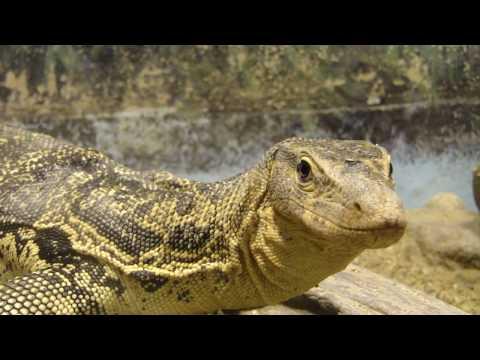 ミズオオトカゲ - 天王寺動物園