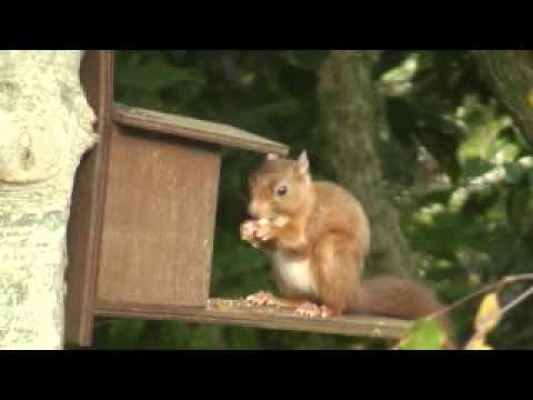 Red Squirrel on nut box.