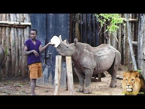 Putting Baby Black Rhino To Bed.