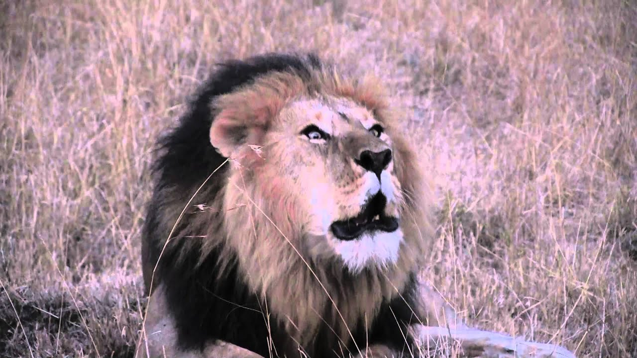Lion Roaring Sound Effect HD.Leon rugiendo en Masai Mara ... - photo#38