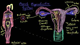 Khan Academy - Anatomy of the Female Reproductive System