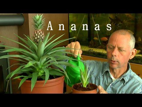 Ananas von Ikea umpflanzen