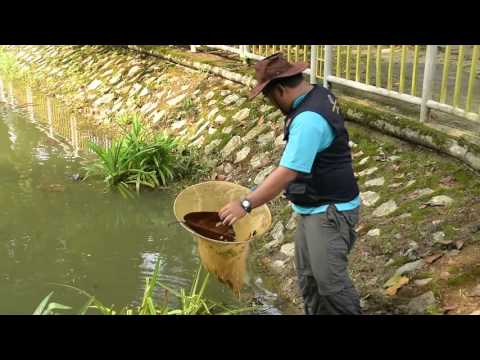 Pond Water Quality Rehabilitation Programme at Forest Research Institute Malaysia (FRIM)
