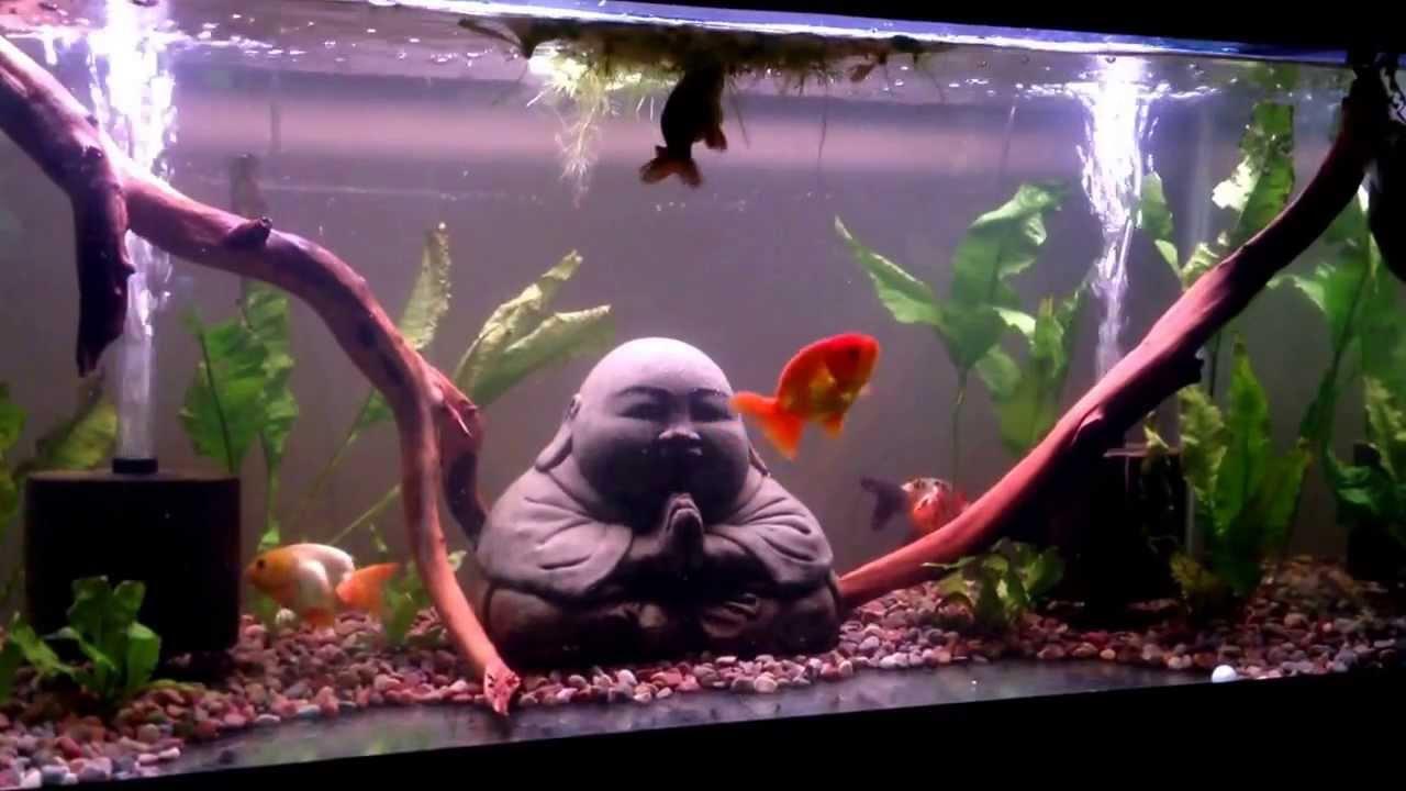 Zen buddha ranchu aquarium youtube for Zen fish tank